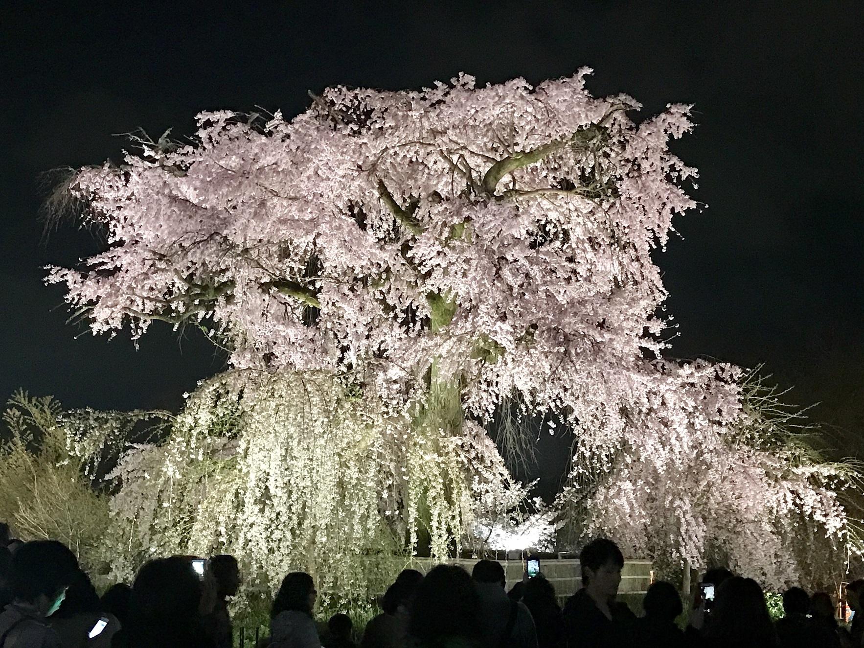 kyoto cherry v-3 29-4-11